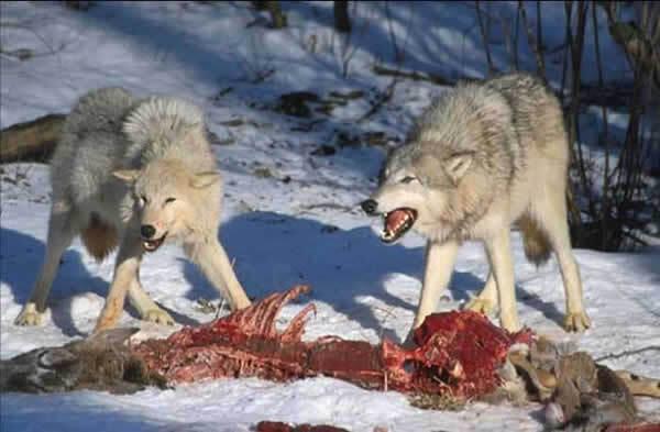 Loups qui viennent de tuer un ongulé