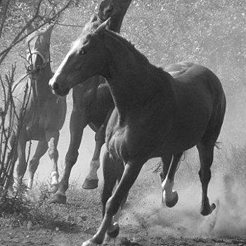 le pur sang est un cheval à sang chaud.
