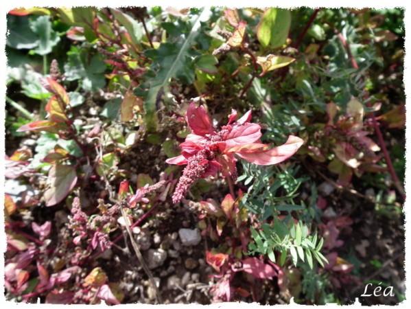 DSCF4331 plante rouge