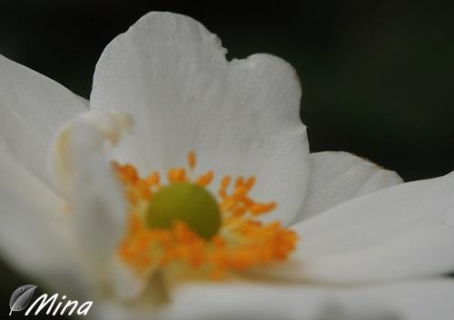 Anémone blanche...