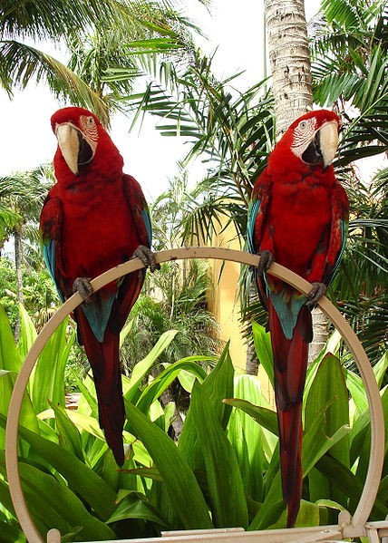 428px-Ara chloropterus -pets at hotel -Aruba-8b