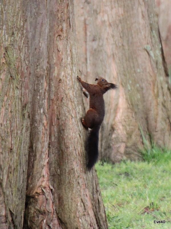 Les écureuils de la pointe des vergnes.(Soustons)