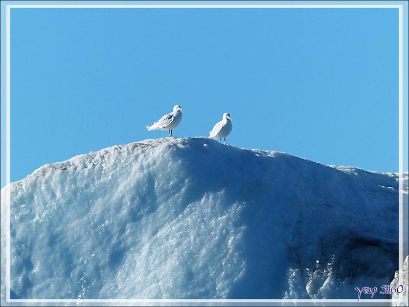 Goéland bourgmestre, Glaucous Gull (Larus hyperboreus) ??? - Crocker Bay - Devon Island - Baffin Bay - Nunavut - Canada