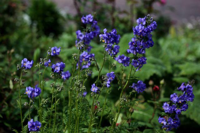 Des compagnes pour mes roses : Polemonium caeruleum