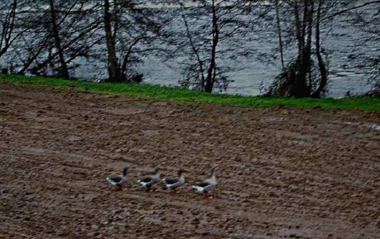 Les oies de Noël font la parade au bord de l'eau.