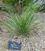 yucca linearis