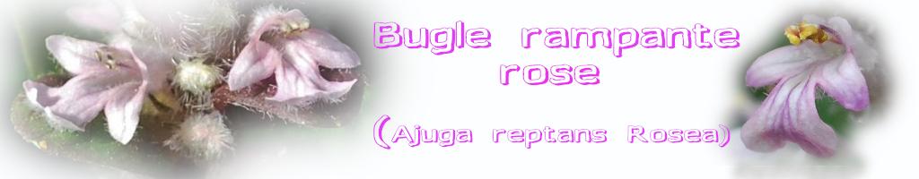 La Bugle rampante (Ajuga reptans) Lamiaceae
