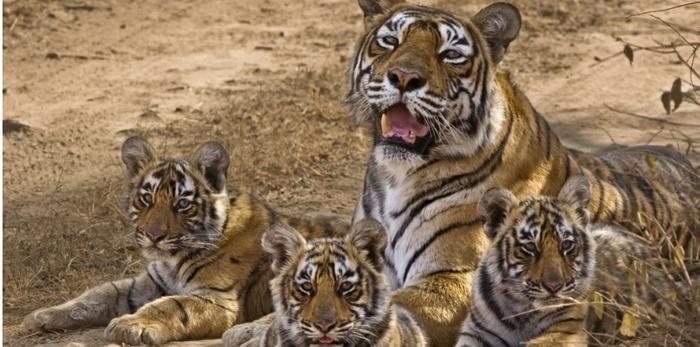 Inde...Au Royaume Du Tigre