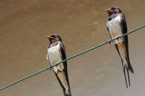 Hirondelle Rustique (Barn swallow)