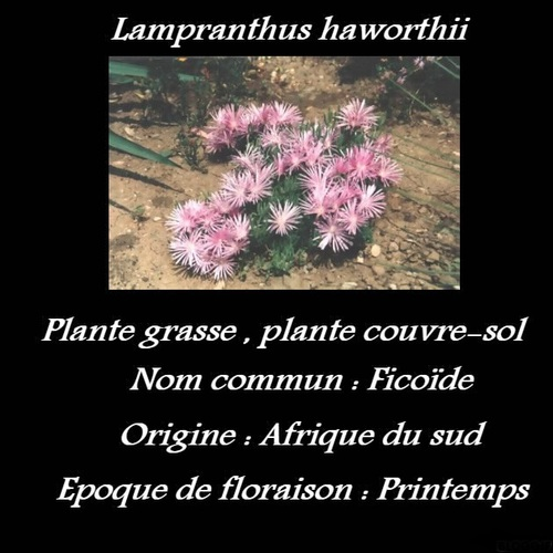 Lampranthus haworthii