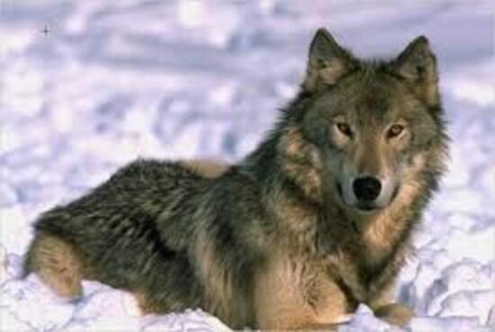 El lobo ibérico (español y portugués)