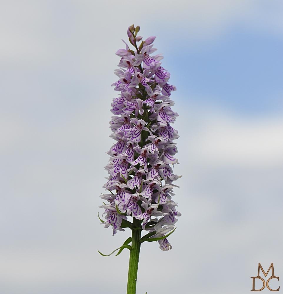 Orchis tacheté (maculé)