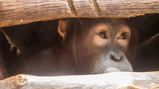 Des orangs outans arrachés à leur mère utilisés comme animaux de compagnie