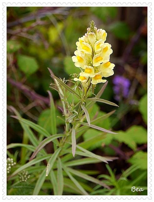 Flore picarde