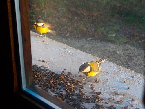 Mesanges...rouge-gorge...moineau ..tous a la même mangeoire sur ma fenêtre