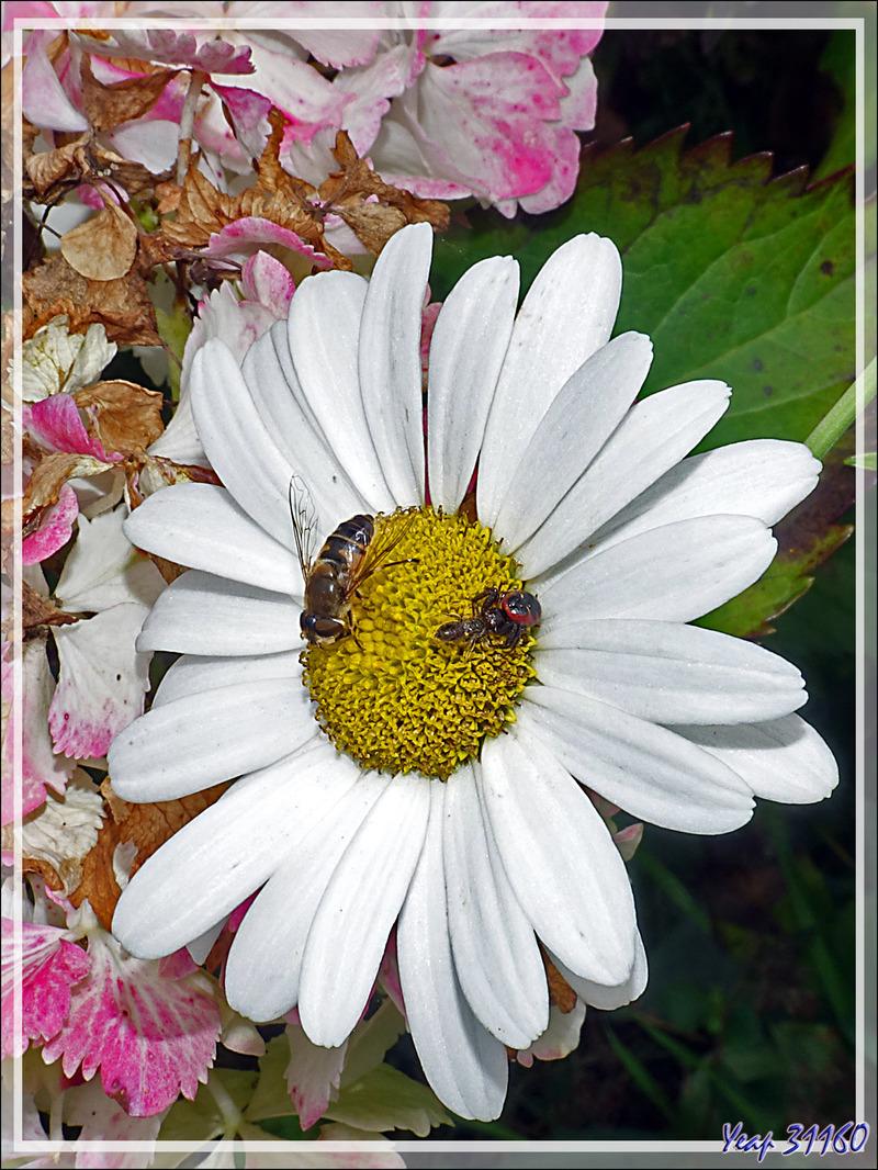Araignée Thomise globuleuse forme rouge et sa proie (une abeille), Thomise Napoléon, Napoleon spider (Synema globosum) - Lartigau - Milhas - 31