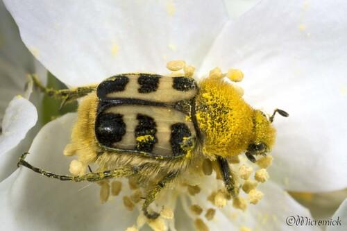 Trichie commune (Trichius rosaceus)