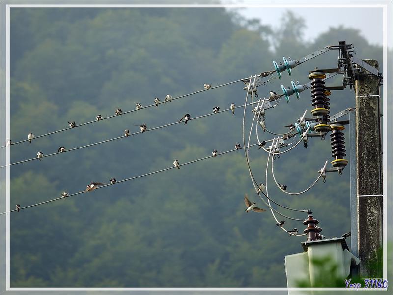 L'automne approche, les hirondelles rustiques (des cheminées) nous le font savoir ! - Lartigau - Milhas - 31