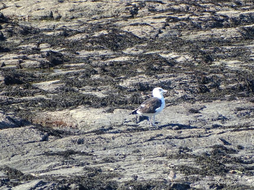 Les oiseaux de la Prée à la Plaine sur Mer - 44-