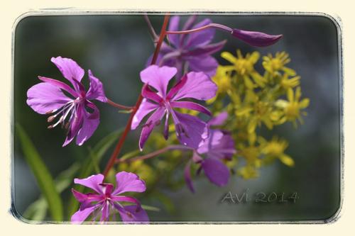 Fleurs d'été : Epilobes