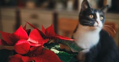 Ces 5 plantes de Noël sont dangereuses pour vos animaux