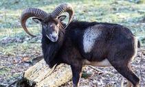La Corse et sa faune
