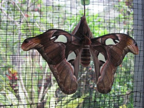 Papillons de Bali