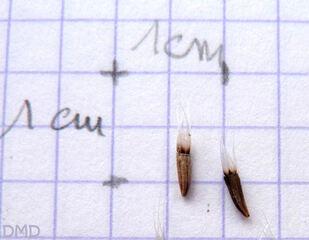 Catananche caerulea - cupidone bleue