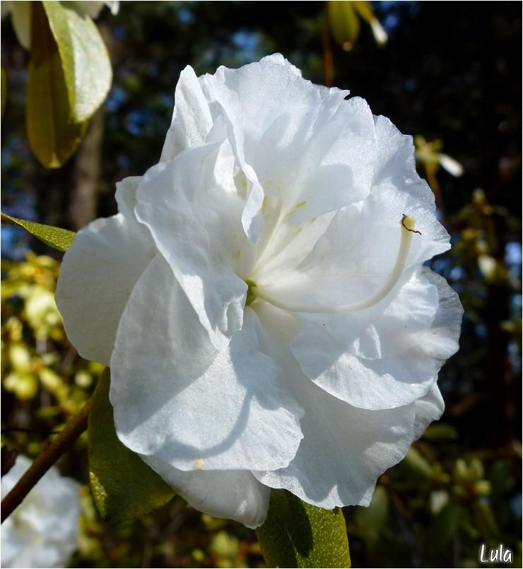 Quelques fleurs d'azalées