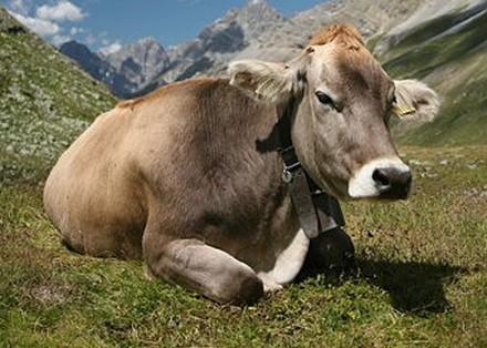 """Résultat de recherche d'images pour """"brunes des Alpes"""""""