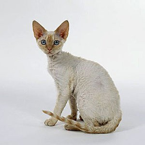 Chat-devon-rex-cat.jpg