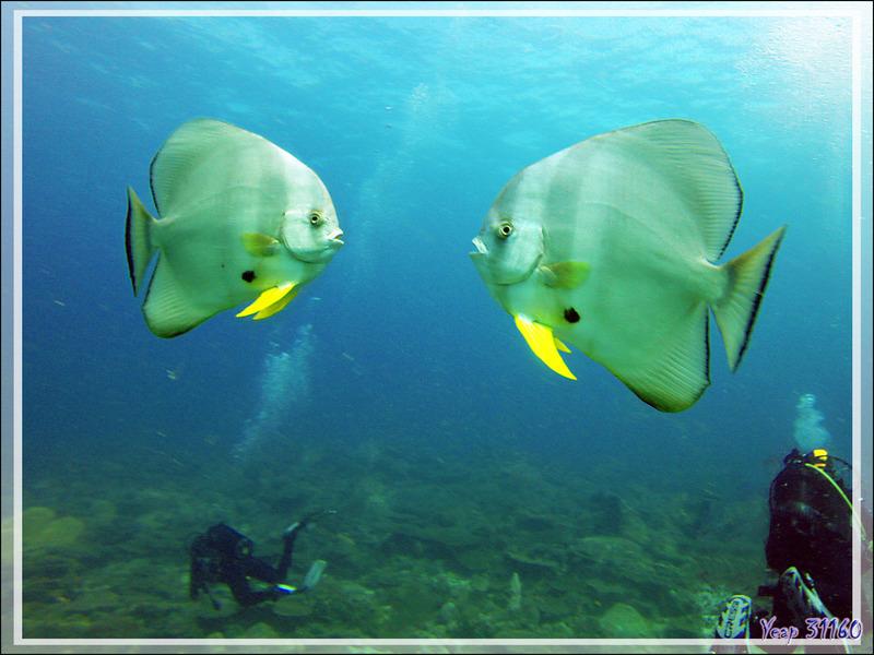 Platax à longues nageoires ou à grandes ailes ou Poisson chauve-souris teira, Tiera batfish, Longfin batfish (Platax teira) - Nosy Mitsio - Madagascar