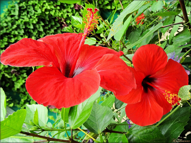 Photo d'Hibiscus (Ile aux papillons)