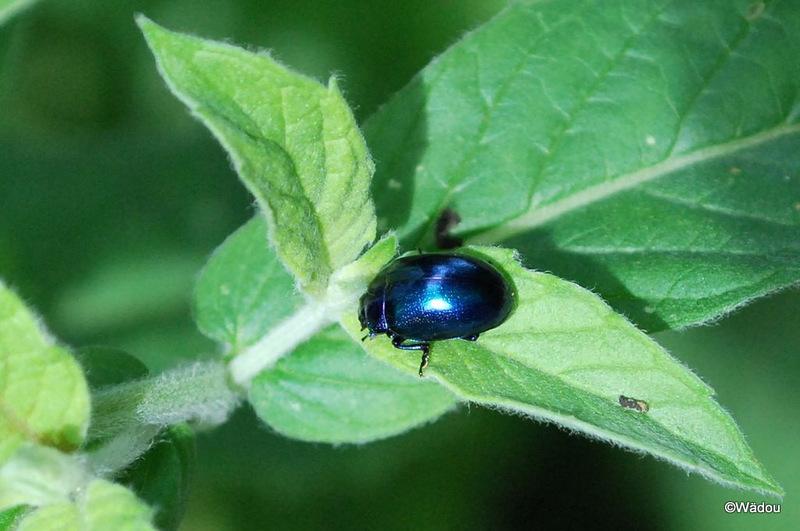 Chrysomèle de la menthe, variante bleue (Chrysolina herbacea) Chrysomelidae