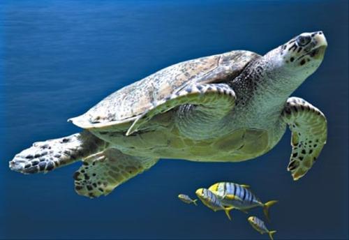 Tortue de mer   reptiles