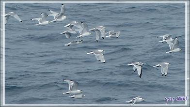 Nous levons de nombreux vols de Mouettes Tridactyles lors de notre navigation vers notre prochaine escale : Kullorsuaq - Upernavik - Groenland