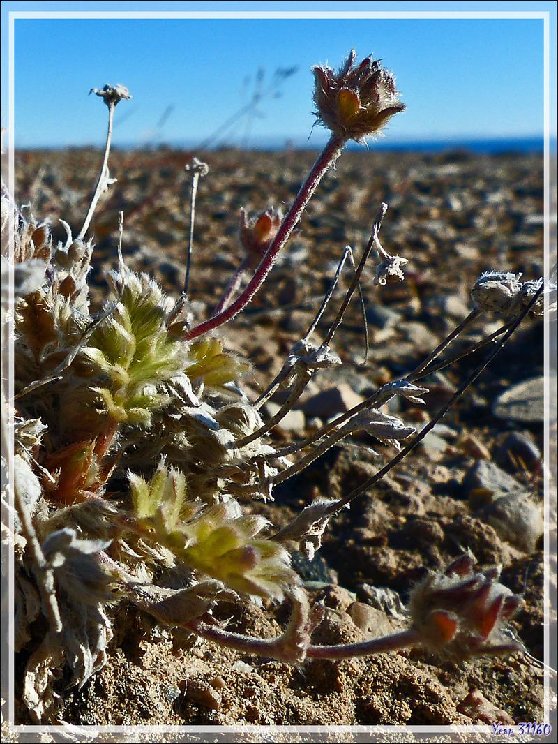 Plantes à feuilles duveteuses - Jesse Harbour - Banks Island - Territoires du Nord-ouest - Canada