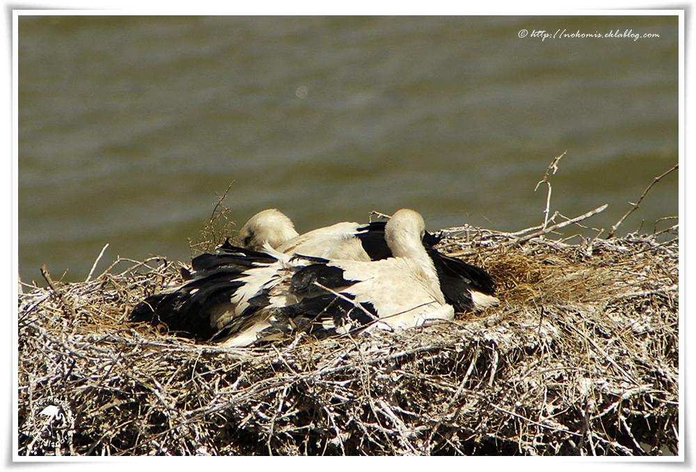 Cigogne blanche - Ciconia ciconia - White Stork