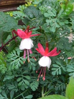 Mi juin   , floraison