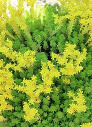 Sedum Acris ou Orpin Brûlant en fleur