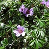 Saxifrage à feuilles opposées \'Saxifraga oppositifolia)