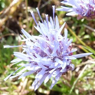 Jasione crispa subsp. crispa - jasione crépue