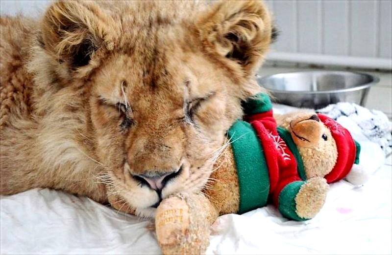 Simba,le lionceau sauvé de la torture