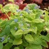 brunnera-macrophylla-diane-s-gold-