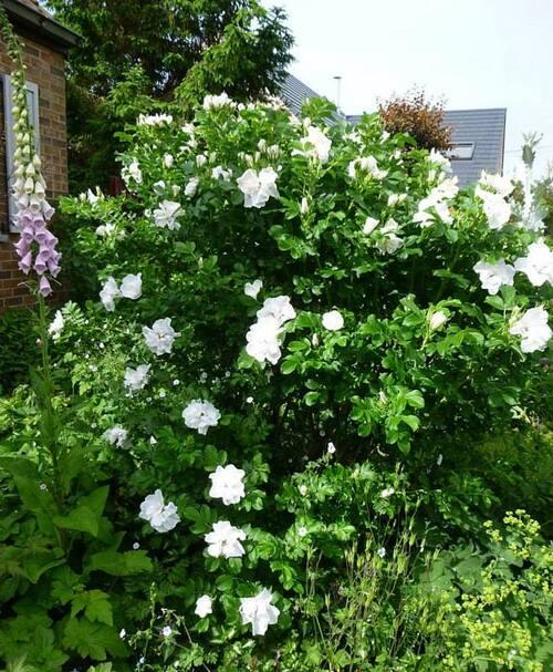 Un rosier coup de coeur: Blanc double de Coubert