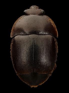 Ce petit coléoptère met les ruches en danger ...