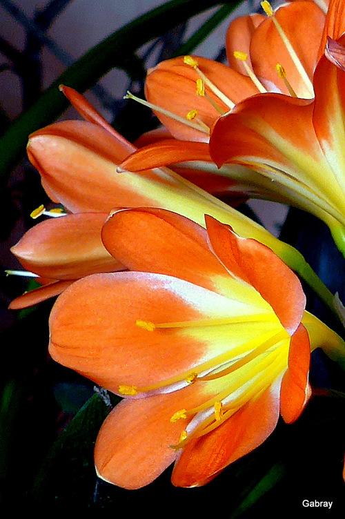Les fleurs de mon clivia ...
