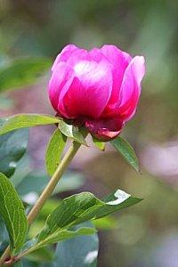 rosa-maldita-paeonia-broteri.jpg