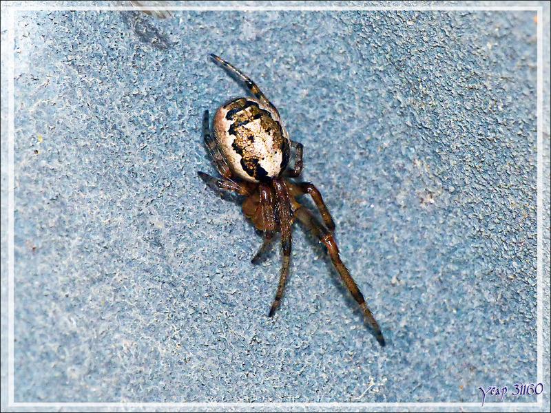 Minuscules araignées Zygielles des fenêtres (Zygiella x-notata)
