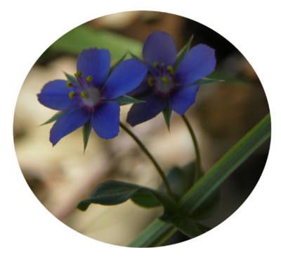 Mouron bleu
